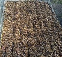 إيقاف التطريد في المناحل لاحظ ازدحام النحل في الخلية