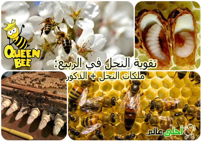 تقوية نحل العسل بالربيع من خلال ملكات النحل و ضبط الذكور