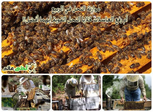 موازنة النحل في الربيع أم رفع العاسلات لخلايا النحل القوية أيهما أفضل!!