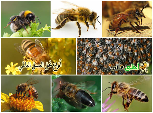 انواع نحل العسل العالمي Apis melliferaوصفاتها المختلفة من نحلة احلى عالم