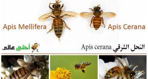 النحل الشرقي , انواع النحل, نحلة أحلى عالم, نحلة, نحل, نحل العسل, افضل انواع النحل, انواع النحل الشرقي, سلالات النحل, نحل Apis cerana , سلالات نحل العسل , العسل