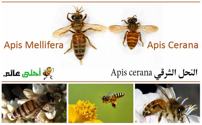 النحل الشرقي Apis cerana من سلالات نحل العسل
